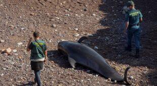 U wybrzeży Hiszpanii utknęły grindwale