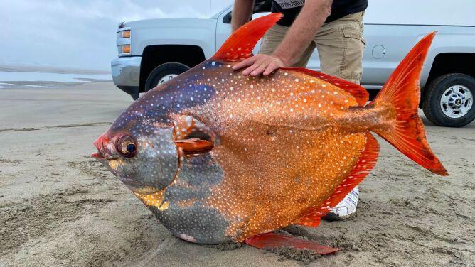 """Gigantyczna """"złota rybka"""". Rzadki i tajemniczy okaz wyrzucony na brzeg"""