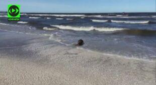 Bóbr na plaży w Świnoujściu